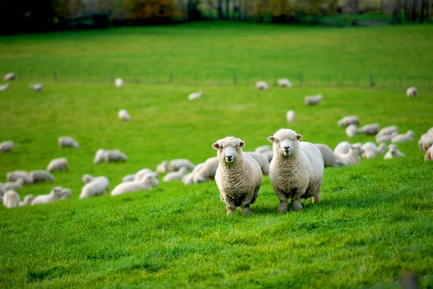 DGX Shipping to New Zealand sheep